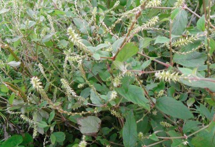 Cây cỏ xước có tác dụng gì?