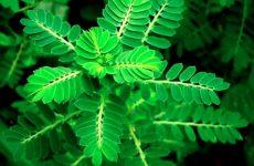 Diệp hạ châu là cây gì
