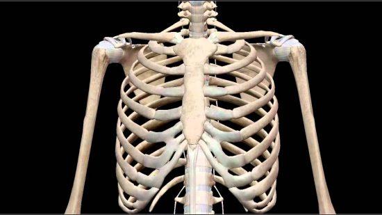 Cơ thể người có bao nhiêu xương sườn