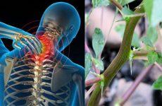 Rau dền gai chữa bện gai cột sống